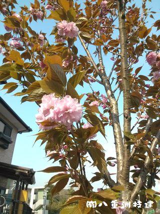 4月18日(水) 八重桜 北九州市小倉南区