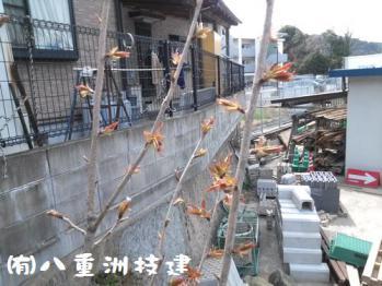 3月30日(土)八重桜 北九州市小倉南区
