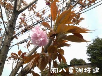 4月6日(土)八重桜開花 北九州市小倉南区